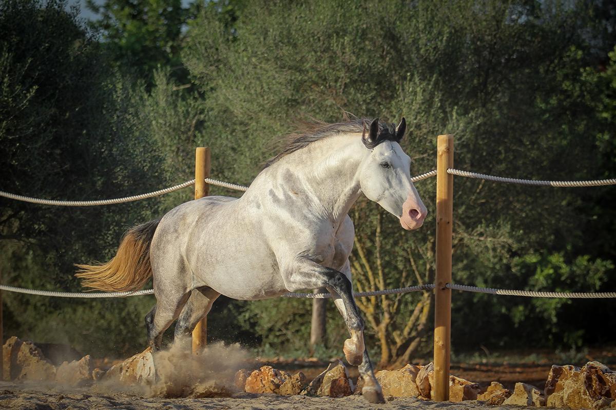 Normando SV Son cavalls